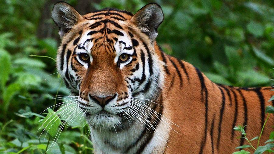 тигры индия